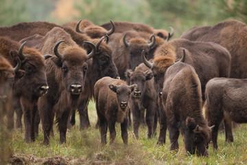 Wall Murals Bison European bison, bison bonasus, Ralsko