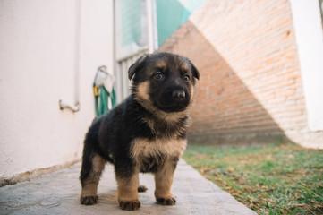 Little German Shepherd puppy standing in a garden
