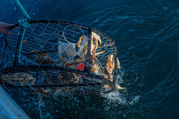 Crab pot being pulled out the ocean with dungeness crab in it