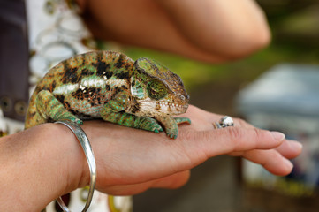 Multi-colored chameleon lizard, quietly sitting on woman's hand and observing neighborhood.