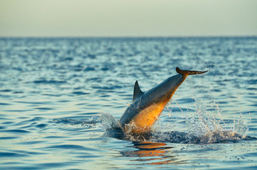Dolphin jumping in Balinese sea. The head is under water, drops and foam are enhanced by sunset light. Calm blue ocean in background.