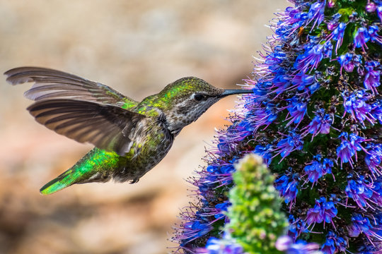 Close up of female Anna's Hummingbird drinking nectar from a Pride of Madeira flower, San Francisco bay area, California