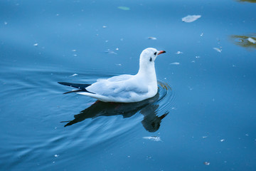 A seagull swimming in the lake