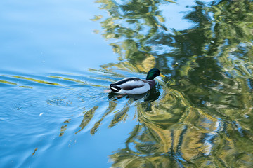 A green head duck swimming in the lake