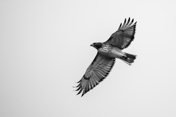 Hawk in mid flight Wall mural