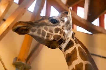 Giraffe head close-up at the zoo