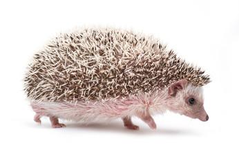 hedgehog isolated on white background