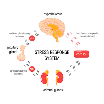 7312817 Stress response system. Vector endocrine medical diagram