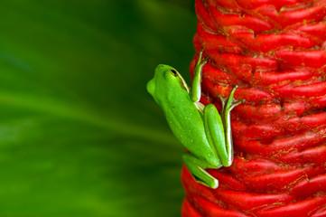 Green Treefrog on Shampoo Ginger