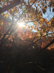 Maple Leaves with Strong Sunshine
