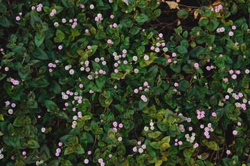 ピンクの小花 ヒメツルソバ