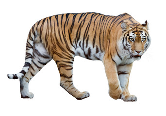 isolated on white striped large tiger