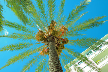 Looking up at a palm tree with palm fruit. Shot against a clear blue sky.