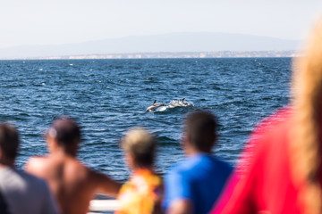 Albufeira, Portugal - Juny, 2018: Common bottlenose dolphin swimming near dolphin watching experience boat by the coast of Algarve, Portugal.