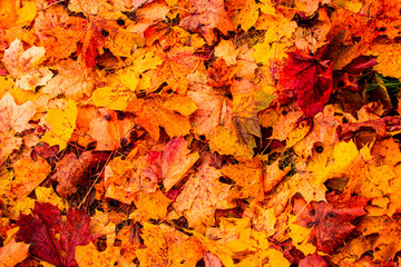 Autumn  leaves background. Multicolored maple leaves lie on the grass. Abstract background of autumn leaves. Nature concept. Flat lay.