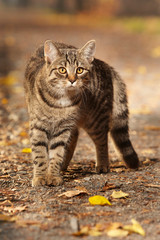 Pretty young six months old tabby cat on park way