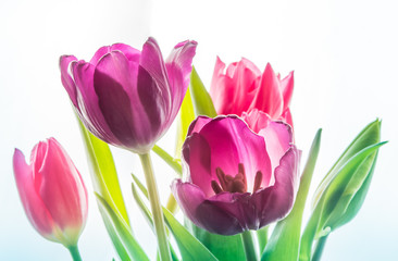 Foto auf Acrylglas Tulpen Close-up Red Pink Purple isolated tulp flowers on the white background