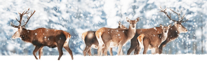 Wall Mural - A noble deer with females in the herd against the background of a beautiful winter snow forest. Artistic winter landscape. Christmas photography. Winter wonderland. Banner design.