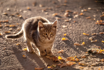frightened gray cat, pressed to the ground with yellow leaves. lonely homeless cat. discarded pet. cat on the autumn street