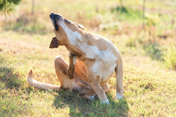 Labrador dog scratching in the garden