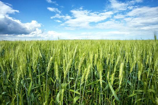 Green ears of wheat under blue sky