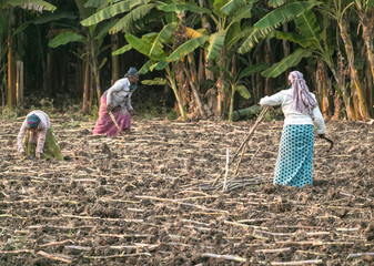 Indian womens working in agriculture field,in the morning