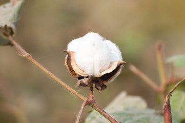 A cotton boll on the brach