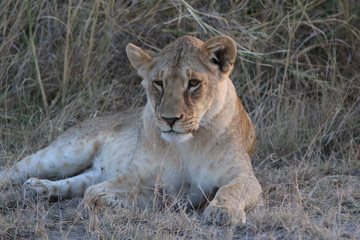 Young lioness in Kenya