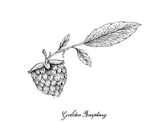 Berry Fruits, Illustration of Hand Drawn Sketch Delicious Fresh Golden Raspberries or Rubus Ellipticus Fruits Isolated on White Background.