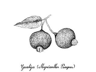 Berry Fruit, Illustration Hand Drawn Sketch of Fresh Guabiju or Myrcianthes Pungens Fruits Isolated on White Background.