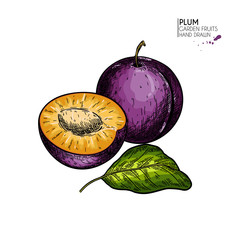 Hand drawn colored plum, half and leaf. Vector engraved illustration. Juicy natural fruit. Food healthy ingredient. For cooking, cosmetic package design, medicinal herb, treating, healt care.