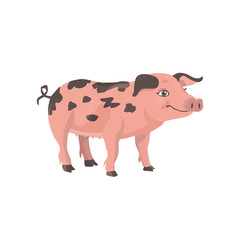 funny little pig with black spots