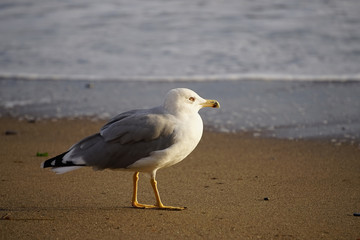 Portrait of a large sea gull on yellow sand.