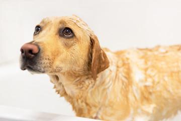 Golden retriever afraid of taking a bath. Sad expression.