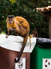Macacos na sociedade