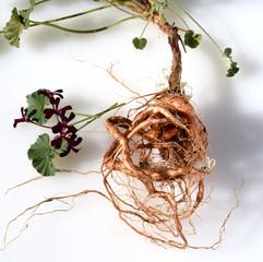 Umckaloabo, Pelargonium, sidoides, Wurzel,