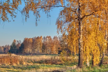landscape with birches and golden forest