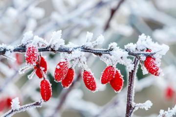 Berberis branch under heavy snow and ice.