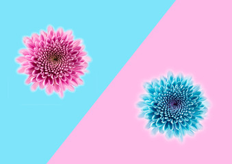 flower Chrysanthemum closeup isolated on pop art background. Trendy minimal style and colors with...