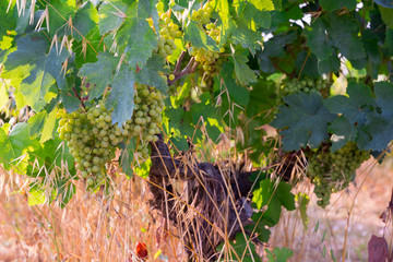 Picture of brunches of grape in  vineyards field at summer day