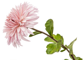 Chrysanthemum flower, isolated on white background