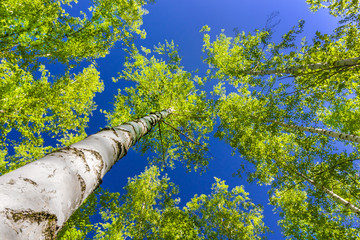 Birch grove bottom view of trees and blue sky