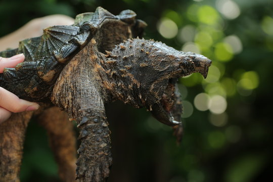 Hand holding Alligator snapping turtle