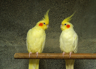 couple of yellow cockatoo nymphs. Parrot breed Fotomurales
