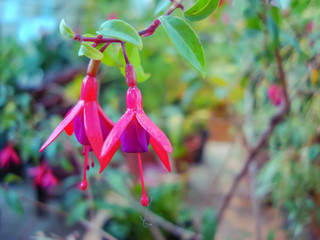 Exotic fuchsia flowers in the city botanical garden.