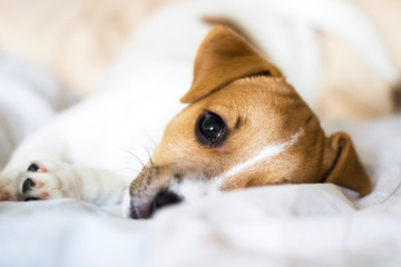 Jack Russell Terrier puppy lying on the bed