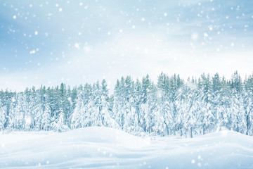 Forest pine trees in winter covered with snow