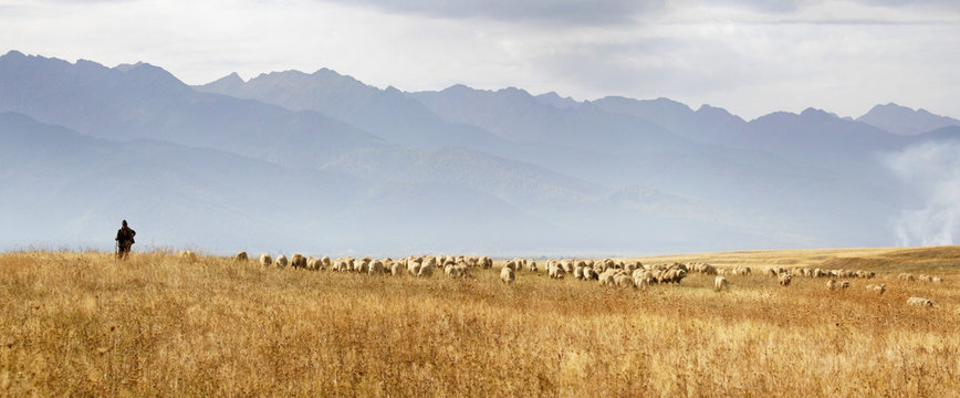 Pastoral: lonely shepherd with his flock of sheep grazing the meadows at the