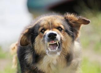 Aggressive dog showing the sharp teeth