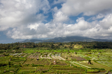 Bali, Indonesia. Ricefields, coconut trees and huts at background